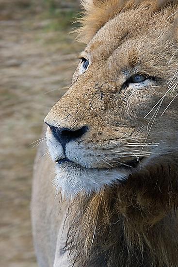 Lion Profile by Michael  Moss