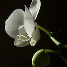 Orchid on it's second life by Roxane Bay