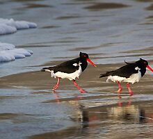 Pied Oyster Catchers by Mike Calder