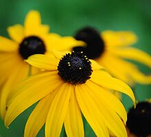 Black Eyed Susan's by Diane Blastorah