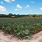 The Pineapple Farm - Sunshine Coast Qld by Beth  Wode