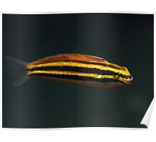 Swansea Yellow Sabretooth Blenny Poster