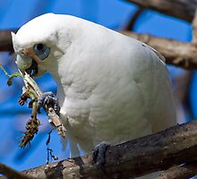 Corella having a snack by Steve Randall