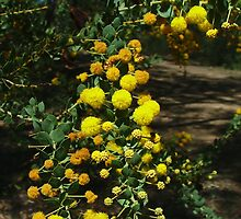 Acacia clandullensis, the Gold-dust Wattle by orkology