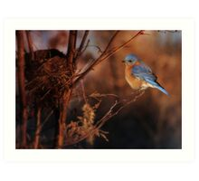 Bluebird at Sunset Art Print