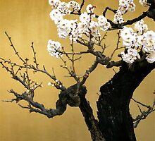 UME   BONSAI ,(Japanese Plum )   OSAKA by yoshiaki nagashima