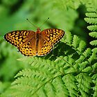 Atlantis Fritilary by Steve Borichevsky