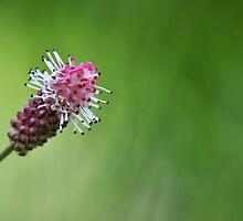 Pink Elephant - Oriental Burnet by Hilda Rytteke