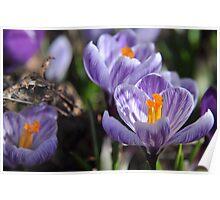 Purple Glory - Purple Crocuses Poster