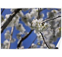Cherry Blossoms In Full Bloom Poster