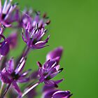 Lilac Flowering Onion by Hilda Rytteke