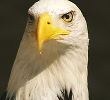 Bald Eagle by Cliff Williams