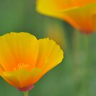 Sleeping Beauty - California Poppy by Hilda Rytteke