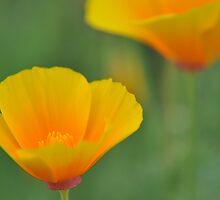Sleeping Beauty - California Poppy by Hilda Rytteke