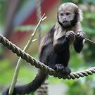 Yellow-breasted capuchin monkey by Lindie