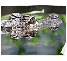 Alligator Reflections Poster