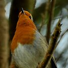 Robin Red-Breast by Russell Couch
