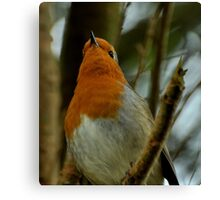 Robin Red-Breast Canvas Print