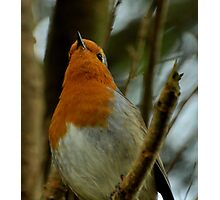 Robin Red-Breast Photographic Print