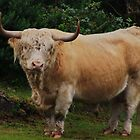 highland bull by bigjoeman07
