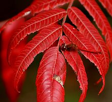 Autumn Meadowhawk on Staghorn Sumac by Steve Borichevsky