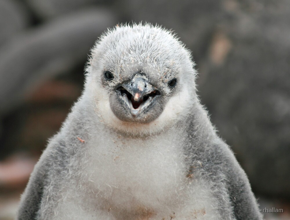 Chinstrap penguin chick by rhallam
