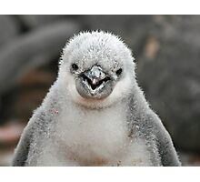 Chinstrap penguin chick Photographic Print