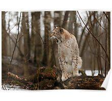 Yawning Lynx Poster