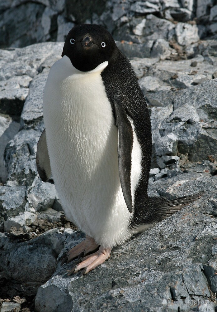 Adelie penguin 3 by rhallam