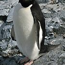 Adelie penguin 3 by rhallam