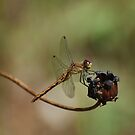 Female Meadowhawk by Steve Borichevsky