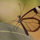 Glasswing butterfly by Lindie Allen
