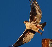 012811 Ferruginous Hawk by Marvin Collins