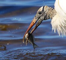 Wood Stork Fishing II by naturalnomad