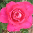 A Rose Rose by Michael John