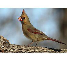 Female Cardinal Photographic Print