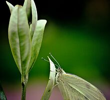 White on Olive by Su Walker