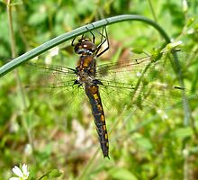 Resting Dragonfly on Wild Garlic by MotherNature