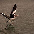 Pelican Launch by Jenny Dean
