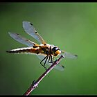 Gold Dragonfly  by Diane Blastorah
