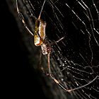 Nephila in Her Web by apgdphoto