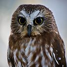 Saw-Whet Owl by Sue Ratcliffe