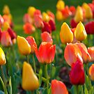 Spring Shower Of Tulips by Curtiss Simpson
