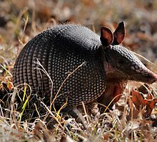 Texas Armadillo by Dennis Stewart