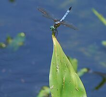 Blue dragonfly sunning by Ben Waggoner