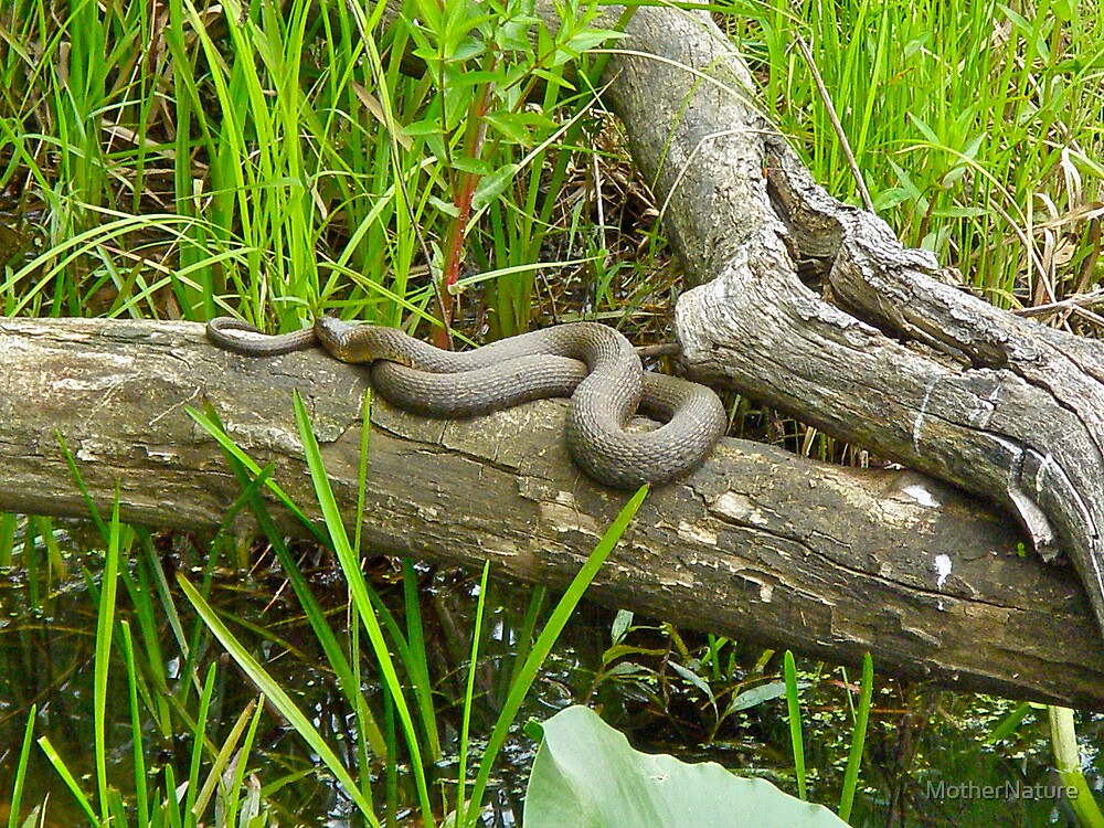 Northern Water Snake (Nerodia sipedon) by MotherNature