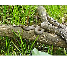 Northern Water Snake (Nerodia sipedon) Photographic Print
