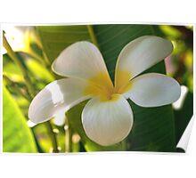 Plumeria blossom Poster