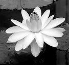 Soft Lily by KBritt
