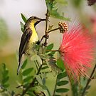Purpled-rumped Sunbird, Ranthambore by Christopher Cullen